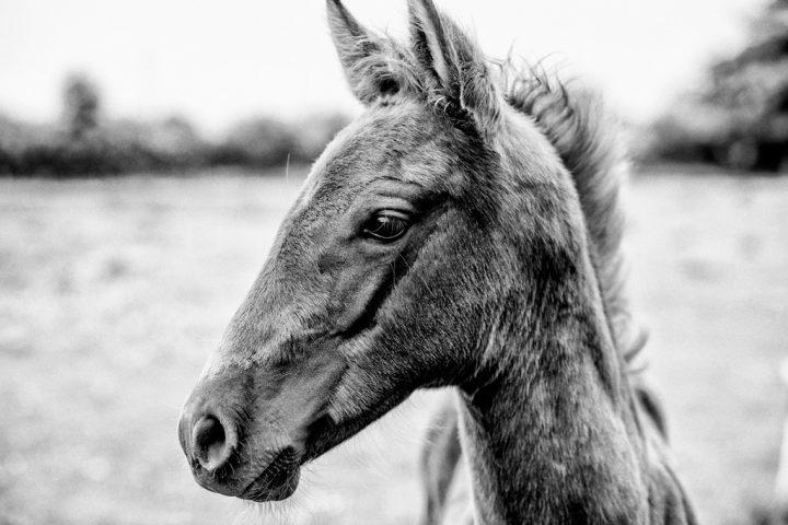 Brillo de Luna, horse